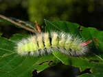 Pale Tussock (Calliteara pudibunda)